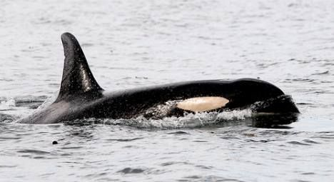 Luna the Killer Whale Hits the Big Screen! Ryan Reynolds To Produce And Narrate Documentary : TreeHugger