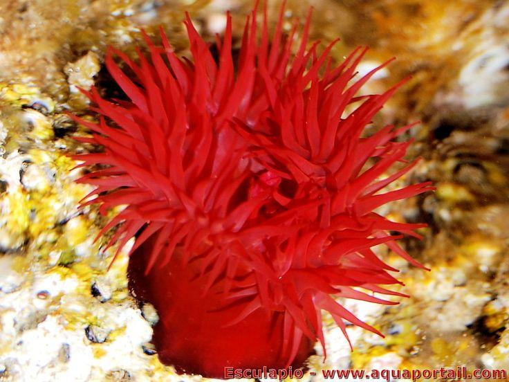 Actinia equina : Anémone-tomate, Actinie chevaline, une anémone de mer toute rouge présente sur le littoral français
