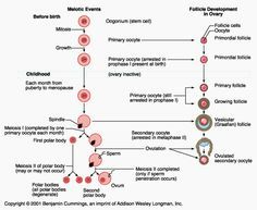 Female Reproductive System: Physiology