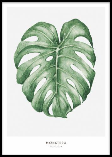 Botanisk plansch / affisch med grönt blad. Tavla med monstera blad. Snygga botaniska posters med växter.