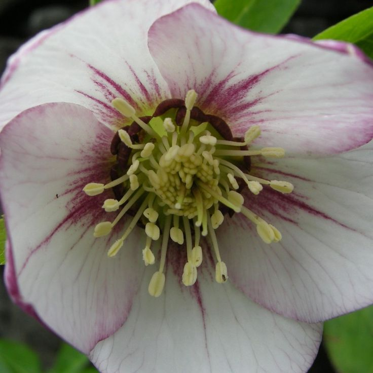http://shop.unquadratodigiardino.it/ellebori-e-altri-fiori-invernali/749-helleborus-or-white-with-dark-center-.html
