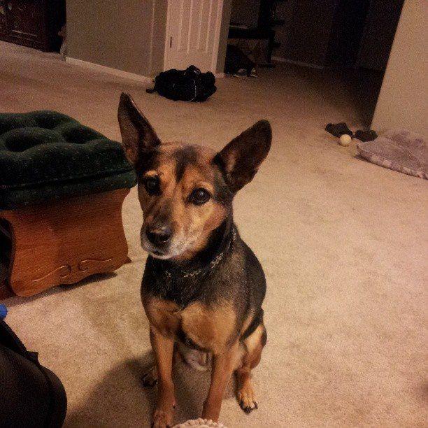 Sammie, 14 year old Basenji/German Shepherd mix.  Best dog ever. - Imgur