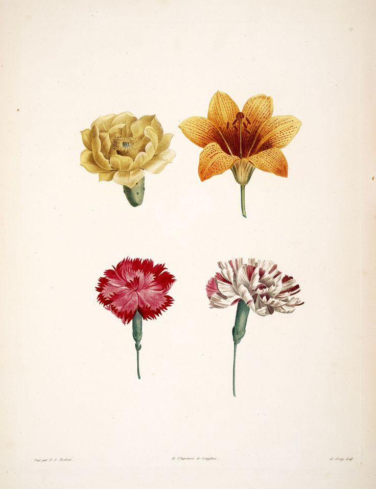 gravures botanique Rousseau - gravures botanique Rousseau - 188 corolles - Gravures, illustrations, dessins, images