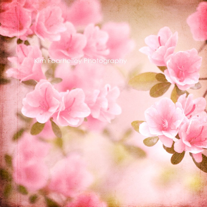 Romantic Flower Photo  8x8 Fine Art Photography, pink, floral, springtime, shabby chic, nature, vintage, pastel, spring. $30.00, via Etsy.