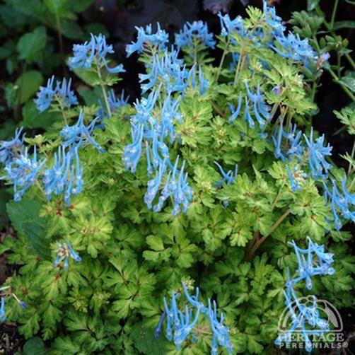 Plant Profile for Corydalis flexuosa 'Golden Panda' - Blue Corydalis Perennial