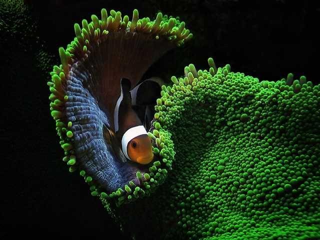 A Vida Nas ÁguPeixe e Anêmona do Mar Vermelhoas do Mar Vermelho