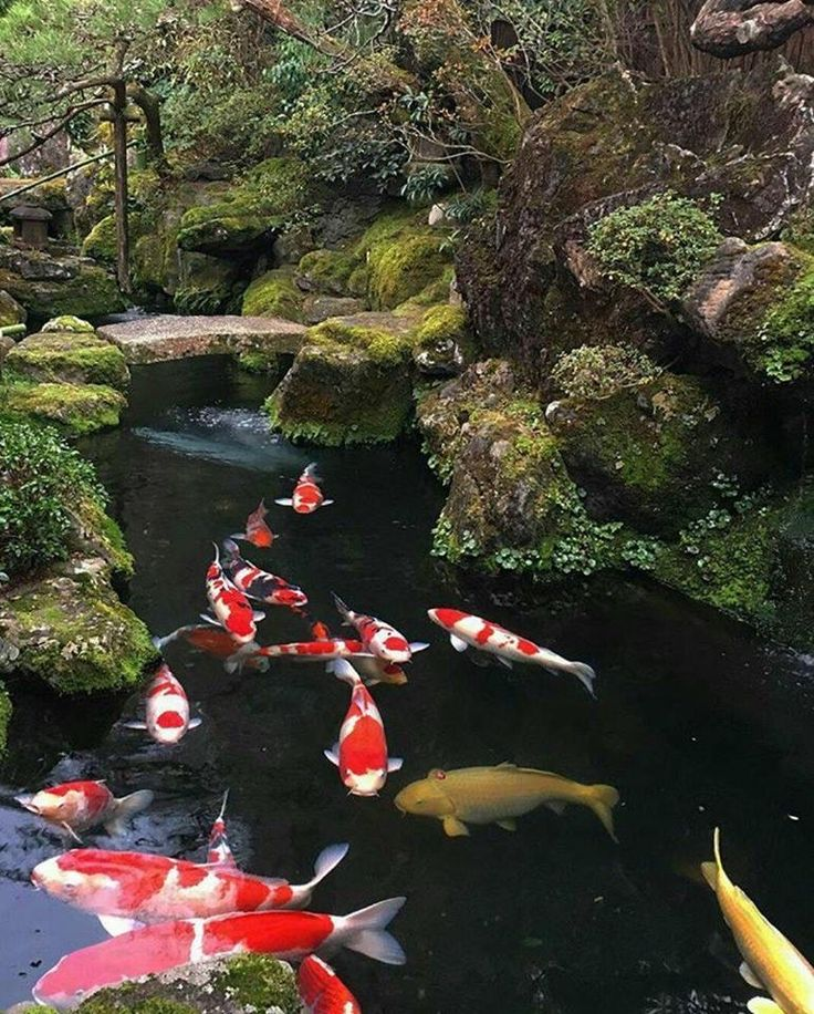 570 best koi pond images on pinterest backyard ponds for Best fish to put in a pond
