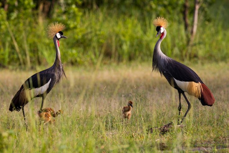 Crowned Cranes with babies