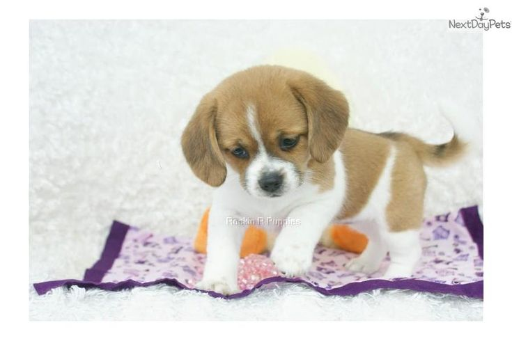 Meet Tabby a cute Puggle puppy for sale for $900. Tabby, Peagle, Shipping Included