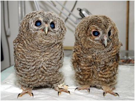 citizens found the baby owls in Kumluca/Antalya/TURKEY, and were delivered veterinarian. veterinarian, take care of baby owls for a month, feed them, give flight training. then they gain their living environment capabilities baby owls left to nature.  http://www.cumhuriyet.com.tr/?hn=426808=20=4=20 Yuvasız kalan yavru baykuşlara sahip çıktı Yaklaşık bir ay beslenecek ve uçuş eğitimi verilecek yavru baykuşlar, kendi yaşam kabiliyetlerini kazandıklarında doğaya bırakılacak.