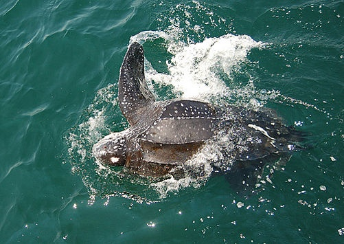 Rising Temperatures Could Wipe Out Leatherback Turtles in Eastern PacificWorld Largest, Leatherback Turtles, Largest Turtles, Huge Leatherback, Turtles Species, Sea Turtles, Turtles Population, Turtles Rescue, Leatherback Sea