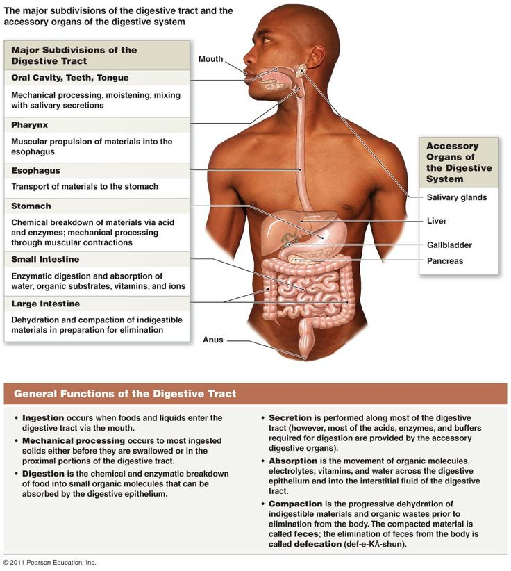 Accessory Organs Of The Digestive System Interesting 141 Best Anatomy  Digestive System Images On Pinterest  Anatomy Decorating Inspiration