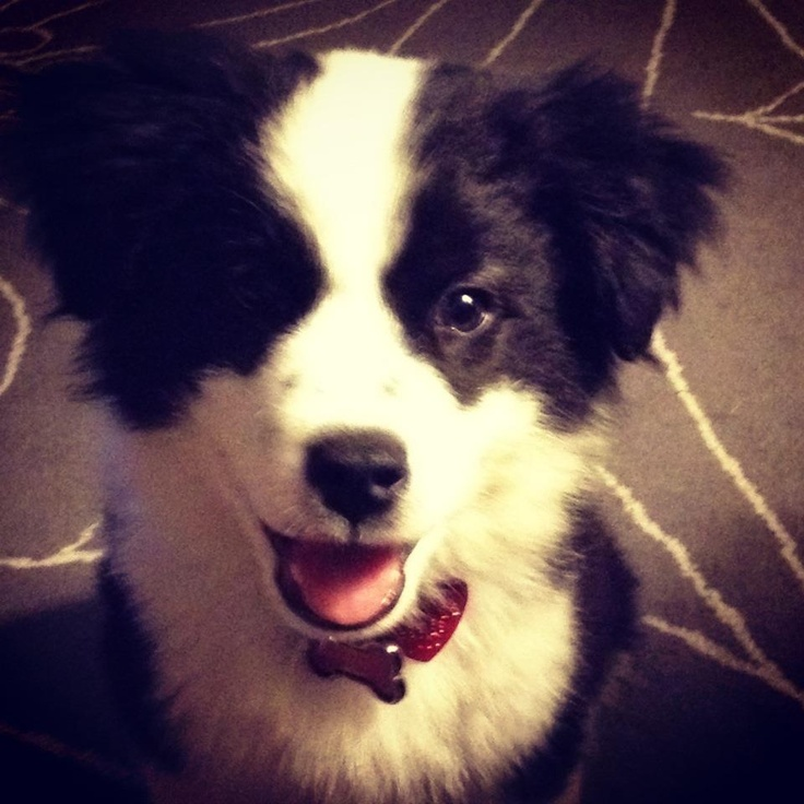 RALPH. My Borgi (Border Collie Corgi Mix) Pup
