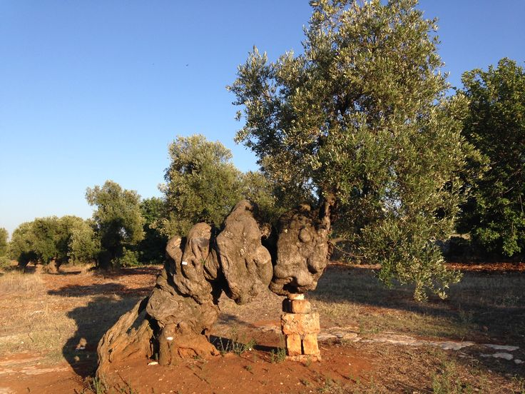 Questo albero di #ulivo si chiama Il Grande Vecchio e ha più di mille anni.  Lo puoi vedere nelle campagne di #Ostuni recandoti presso la #MasseriaBrancati di Corrado Rodio, proprietario di una vasta area di terreno puntellata da meravigliosi e monumentali alberi di #ulivo secolari e persino millenari.