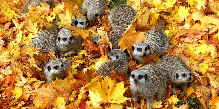 Autumn Meerkats