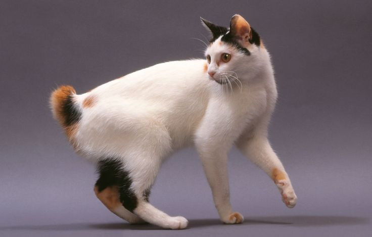 Japanese Bobtail Fluffy Cat Breeds