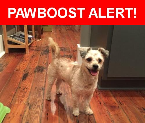 Is this your lost pet? Found in New Orleans, LA 70119. Please spread the word so we can find the owner!  Small terrier mix, no tags or chip.  Looks like he was recently groomed.  Nearest Address: Near Iberville St & N Broad St