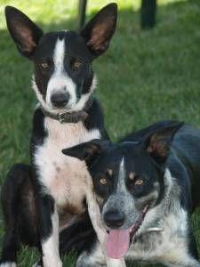 Mcnab Dog Photo Dog Profile For Sundance A Male Mcnab Mcnab Mcnab Dog Dogs Dog Breeds