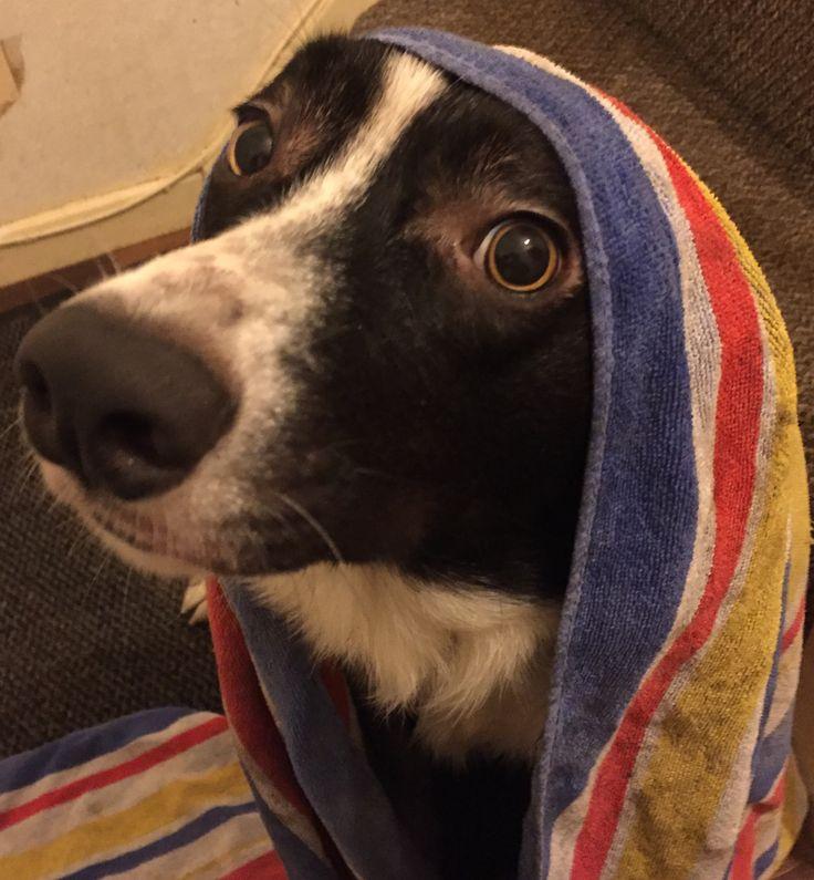 Monty after a long wet walk