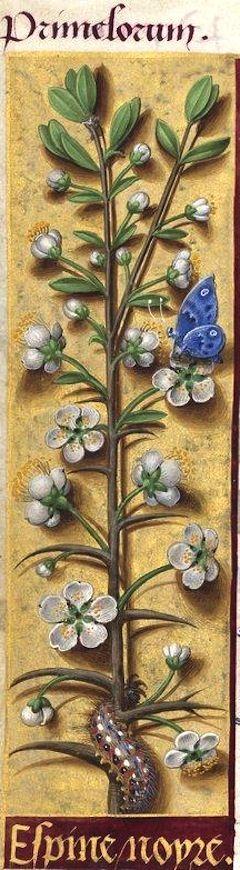 Espine noyre - Primelorum (Prunus spinosa L. = prunellier en fleur) -- Grandes Heures d'Anne de Bretagne, BNF, Ms Latin 9474, 1503-1508, f°109v