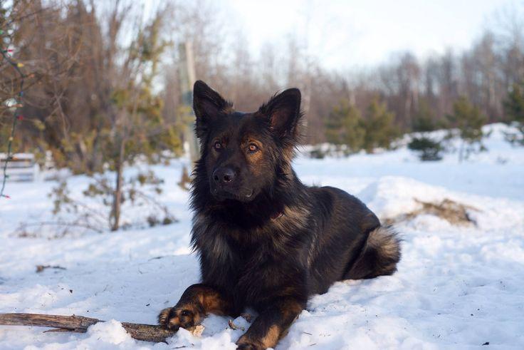 Oakley, our black sable coated DDR German Shepherd
