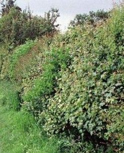 Building an Edible Hedge Row --  1)  Cut tree branches (all sizes) & stack in side-by-side piles approx 6-8 ft high. 2)  Scatter berry bush cuttings, plants, seeds, etc., throughout the piles. 3)  Berry bushes will grow and vine through the tree branches, making a strong, thick, thorny hedgerow wall. 4)  Trim wall sides as needed to prevent too much spreading into your field, yard, etc.