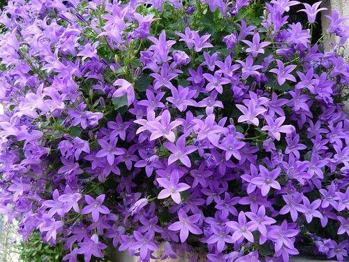 Campanula portenschlagiana (Klokjesbloem) | VASTE PLANTEN | Tuinplanten stekplek