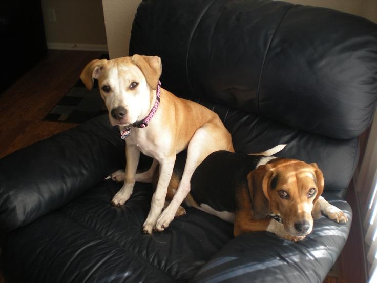 Best seat in the house! Labrador retriever, Labrador, Dogs