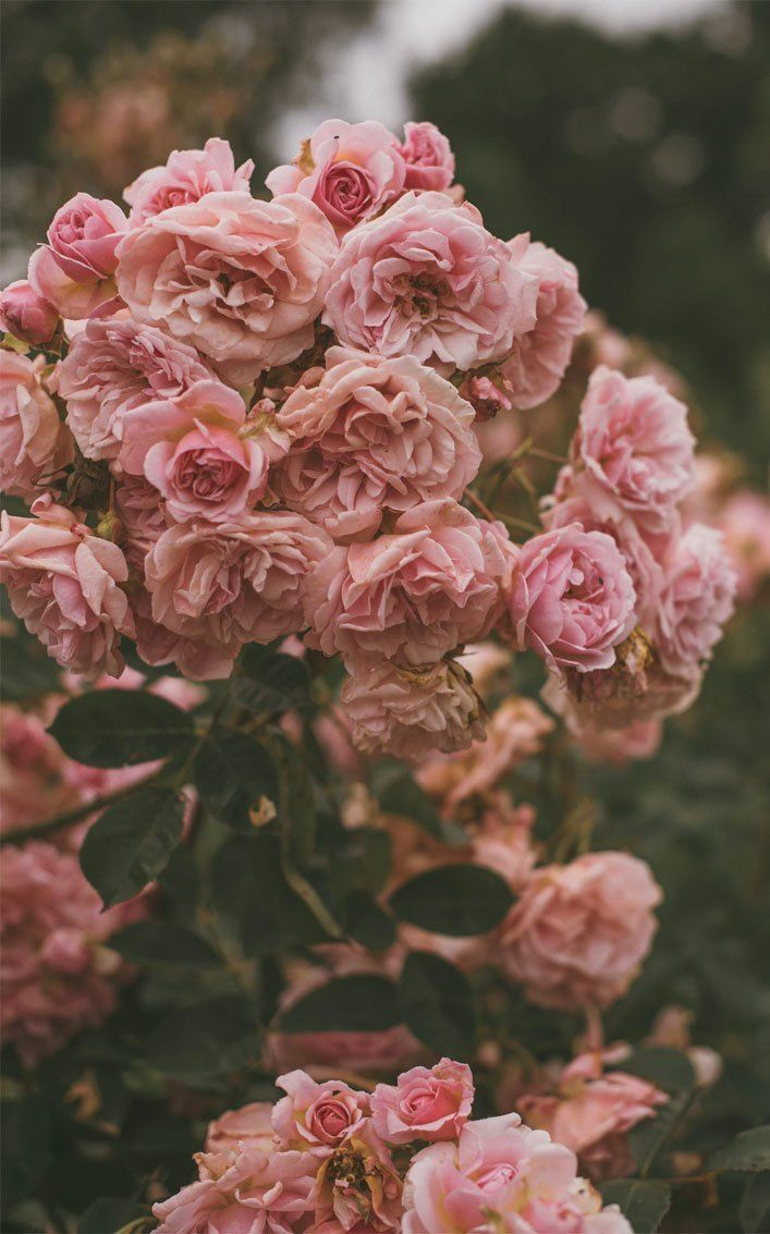 Pink Roses With Images Pink Flowers Wallpaper