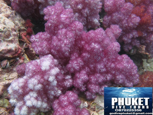 Dive Phuket |  Soft corals at Shark Point by Phuket Dive Tours, via Flickr