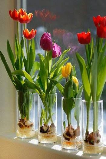 Grow Indoor Tulips . . . Fill a glass container about 1/3 of the way with glass marbles or decorative rocks. Clear glass will enable you to watch the roots develop . . .  Set the tulip bulb on top of the marbles or stones; pointed end UP. Add a few more marbles or rocks so that the tulip bulb is surrounded but not covered (think support). . .Pour fresh water into the container. The water shouldn't touch the bulb, but it should be very close, so that the roots will grow in.
