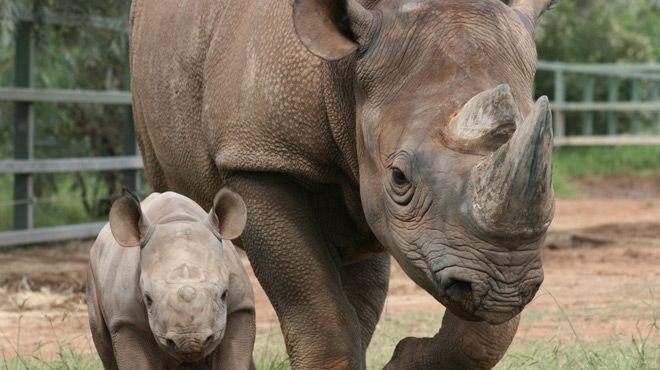 Les braconniers viennent jusqu'en France: un rhinocéros du zoo de Thoiry tué pour sa corne j'ai honte d'etre humaine......