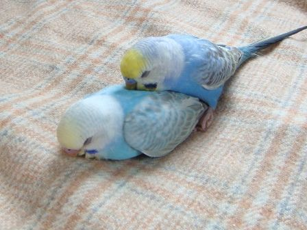 Ahem. Budgie *cough* sp- spoo- *wheeze* budGIE SPOONING