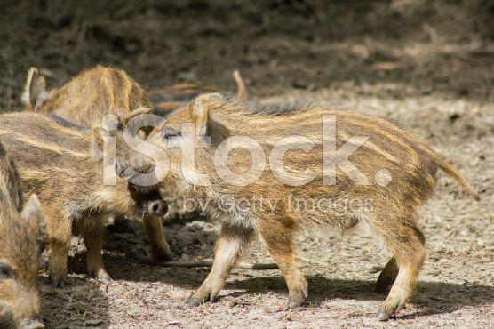 Boar – lizenzfreie Stock-Fotografie
