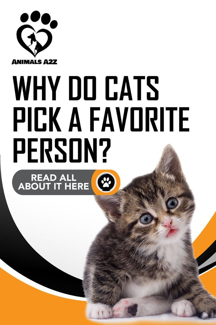 Why Do Cats Pick A Favorite Person Detailed Answer In 2020 Cat Facts Favorite Person Cat Questions