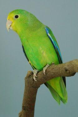 tuim_forpus xanthopterygius Brazilian Birds