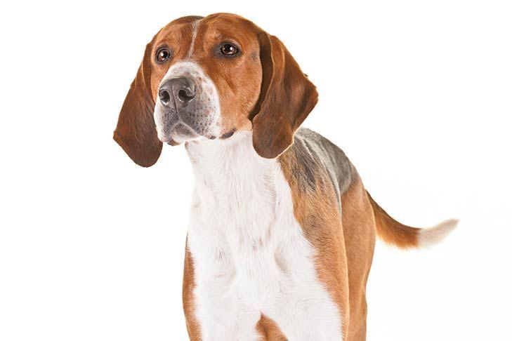 English Foxhound Dog Breed Information Dog Breeds Akc Dog