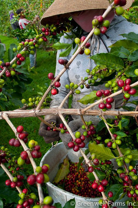 As the coffee cherries ripen from green to crimson, they make a beautiful display on the branch—and they'll make a beautiful cup of Kona coffee too!