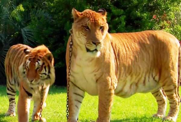 Ligers, Tigers and Leg...