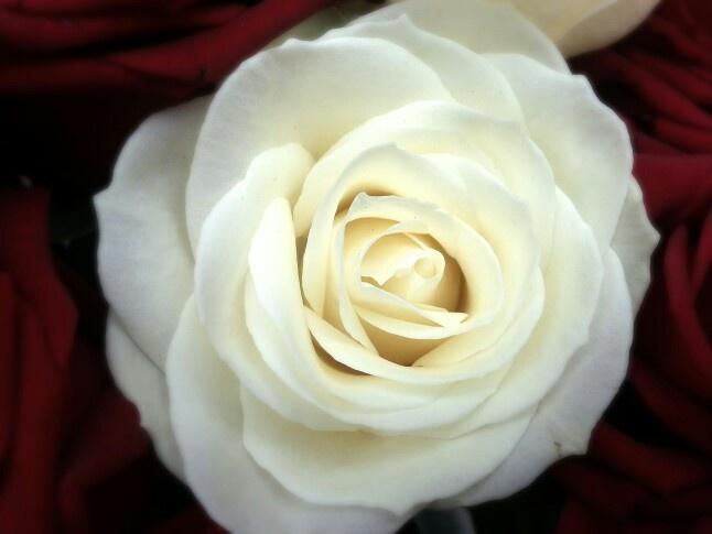 Trandafir alb / White Rose