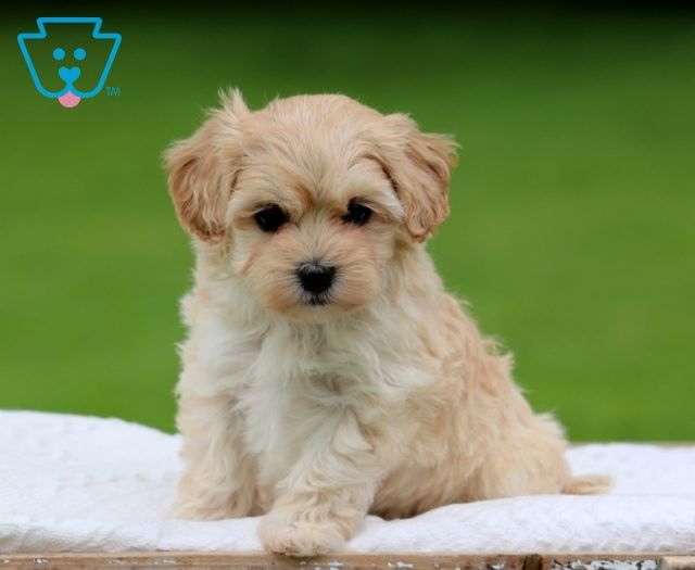 Annie Maltipoo Puppy For Sale Keystone Puppies In 2020 Maltipoo Puppy Newborn Puppies Puppies