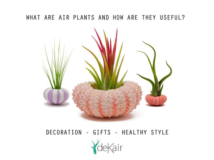 What are Air Plants and how are they useful?  Are you looking for a cute plant but don't have time to take care of it? Air Plants are the perfect solution for you. They don't need soil to grow and they survive with a low amount of water. You can keep them indoors or out -they live basically from the air!  https://www.dekair.com/en/blog/post/what-are-air-plants-and-how-are-they-useful