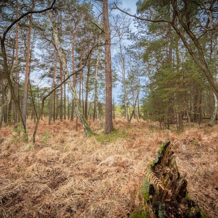 Bild 39 - Zadlitzbruch in der Dübener Heide bei Torgau | © Michael Eichhorn  #zadlitzbruch #dübener_heide #naturschutzgebiet #sachsen #saxony #ausflugsziel #torf #moor #hochmoor #wandern #dübenerheide #duebenerheide #torgau #baddueben #baddüben #wald #sumpf #sumpfgebiet #natur #naturschutz #reservat #biosphäre #biosphere #farn #naturpark #falkenberg #trossin #dresden #nordsachsen #leipzig #sehenswürdigkeit #ziel #sonnentau #sumpfdotterblume #kranich