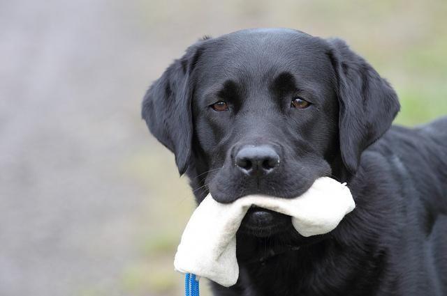 Cómo adiestrar a un perro de raza Labrador