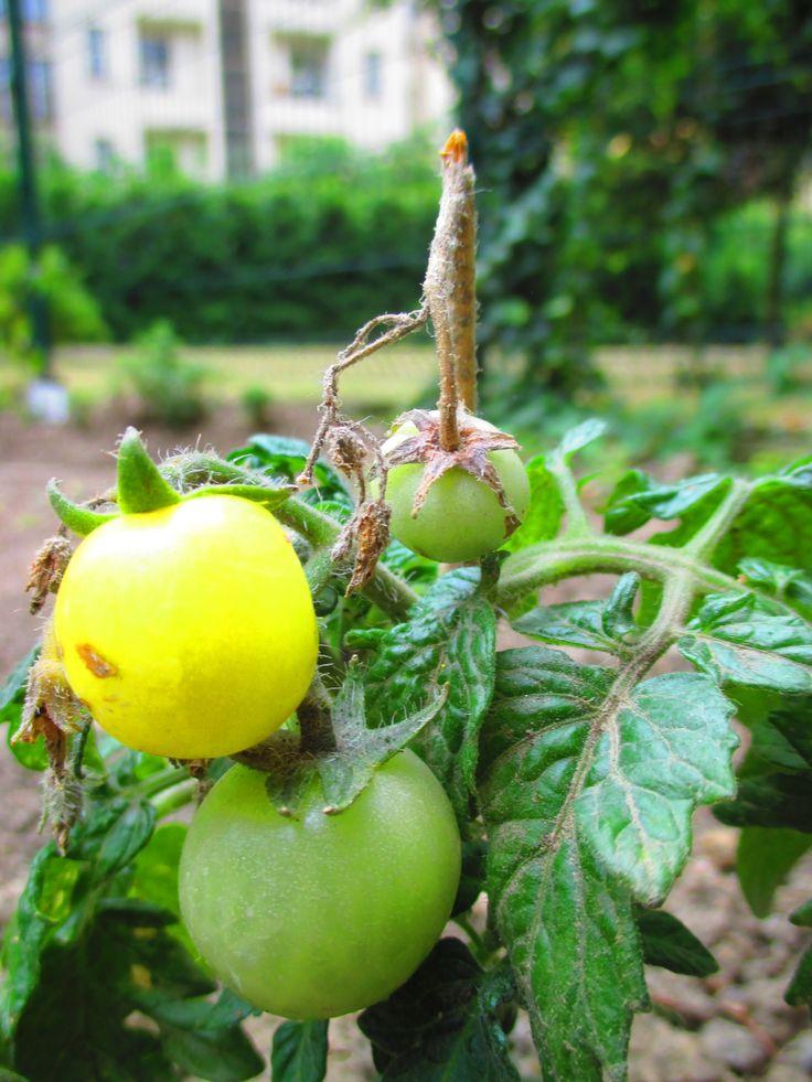 """..""""balkonová rajčátka""""..."""
