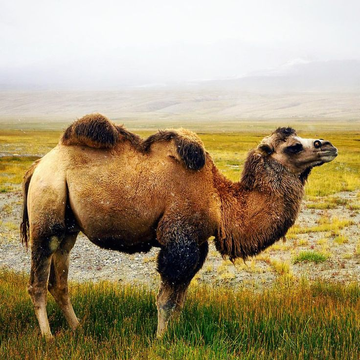 I was not expecting to see camels in #Afghanistan! They are called Bactrian camels, and they live throughout central Asia.