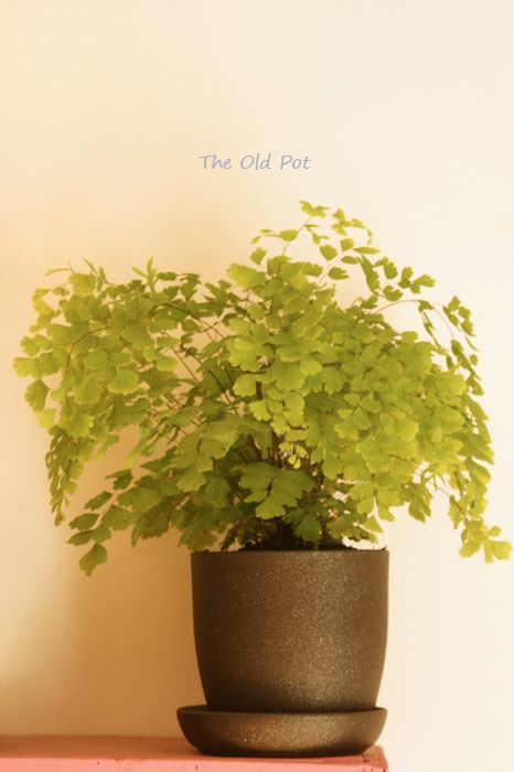 The Old Pot: Złotowłos. Maidenhair fern.