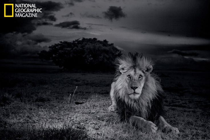 Rare photos capture daily life of Serengeti lions #animals #lions #photography
