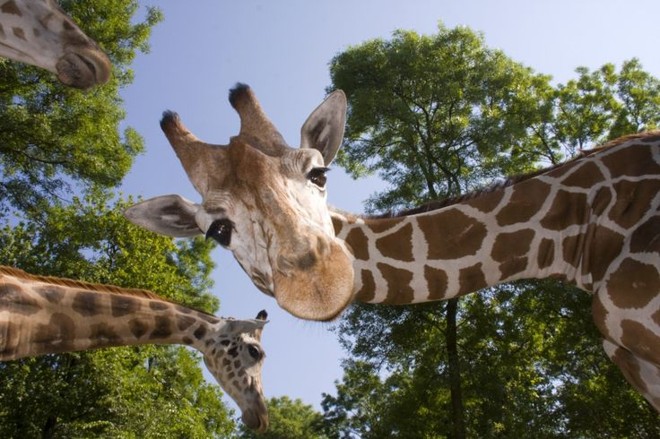 how-giraffe-necks-stretched-to-new-heights