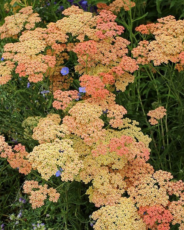 Scrumptious Shades Of Peach Coral Pink And Buttery Yellow In Achillea Millefolium Salmon Beauty Achillea Achillea Millefolium Yarrow Flower